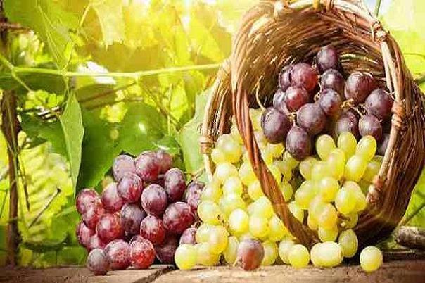 انگور به پیشگیری از سرطان ریه یاری می نماید