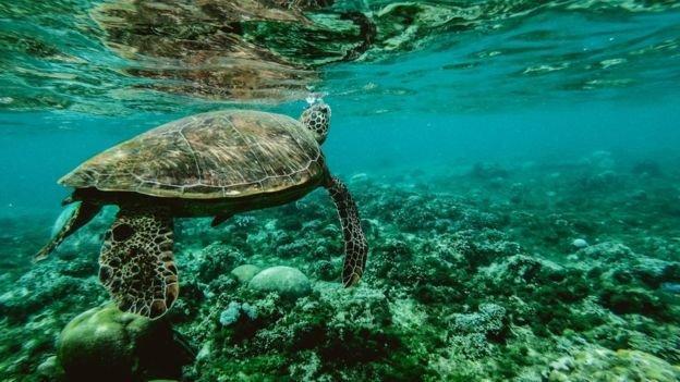 لاک پشت های دریایی ایران در خطر انقراض