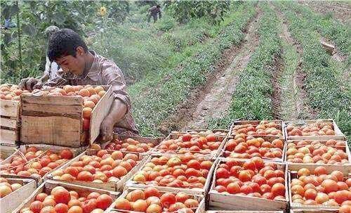 شروع خرید حمایتی گوجه فرنگی از کشاورزان کرمانی