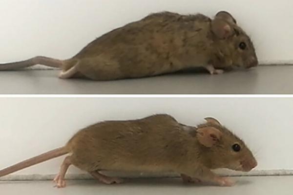 توانایی راه رفتن به موش های معلول بازگشت